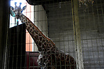 "The four-and-a-half year old Giraffe ""Olga"", arrives at her new home in the Hai Park Zoo in the northern Israeli city of Kiryat Motzkin, after being transferred there from the Biblical Zoo in Jerusalem, May 26, 2009. Olga was lifted in a giant crate and was carefully lowered into her temporary cage, where she will be kept for a couple of weeks under close supervision. Photo By: Tomer Neuberg / JINI"