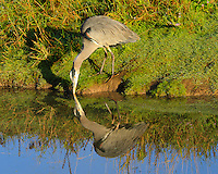Great Blue Heron is dipping beak into water with reflection as perfect mirror with green grass on bank of a stream.  Taken at the Ridgefield National Wildlife Refuge.