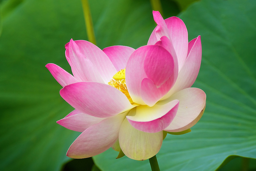 Lotus Flower And Leaves, Adelaide's Botanical Gardens, Australia.