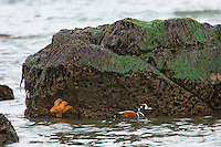 Harlequin Duck (Histrionicus histrionicus) Drake swimming in tidal area. Pacific Northwest Coast