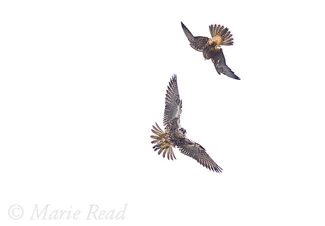 Peregrine Falcons (Falco peregrinus), 2 juveniles (siblings) fighting in flight, California, USA