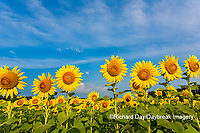 63801-07520 Sunflower field Sam Parr State Park Jasper County, IL