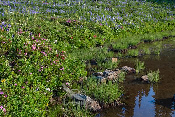 Wildflowers--lupine, arnica, paintbrush, valerian, heather, lousewort and anemone or western pasqueflower--in subalpine meadow near edge of small pond (tarn), Mount Rainier National Park, WA.  Summer.