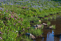 Wildflowers--lupine, arnica, paintbrush, valerian, heather, lousewort and anemone or western pasqueflower--in subalpine meadow near edge of small pond (tarn), Mount Rainier National Park, WA.  Summer.