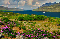 Killary Fjord (fiord) with boat and blooming Rhododendrons. Ireland