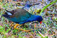 US, Florida, Everglades, Shark Valley. American Purple Gallinule.