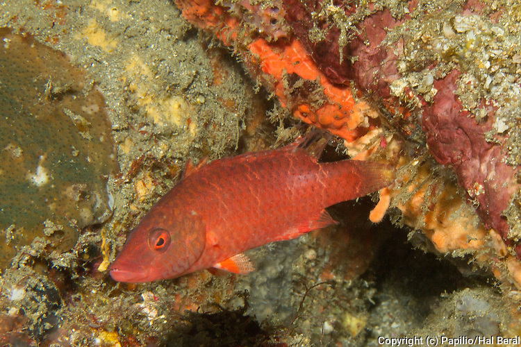 Linecheeked Wrasse .(Oxycheilinus digrammus).Lembeh Straits,Indonesia