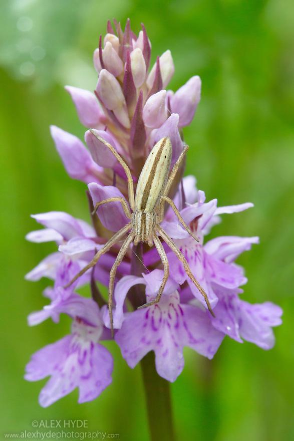 Running Crab Spider (Tibellus oblongus) waiting to ambush prey on orchid. Nordtirol, Austrian Alps, Austria, July.