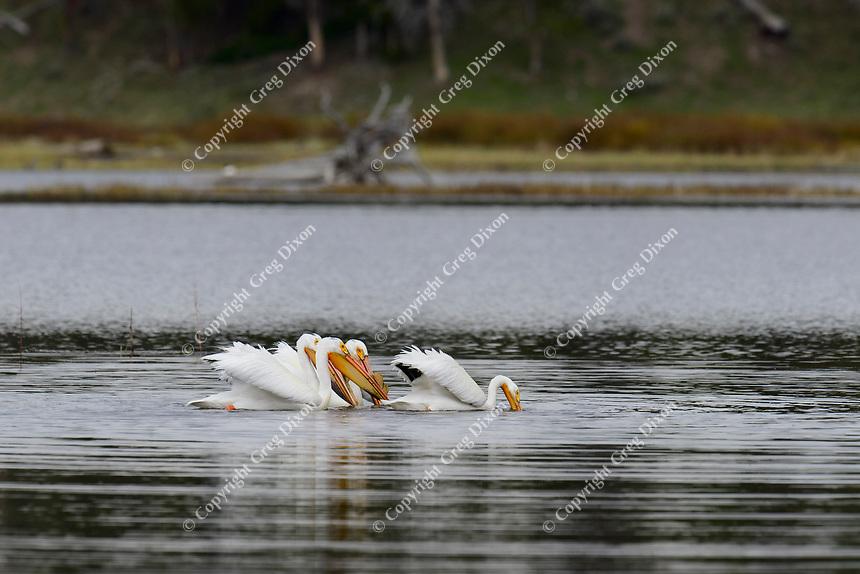 pelicans, Pelican Creek, Yellowstone, Saturday, June 7, 2014
