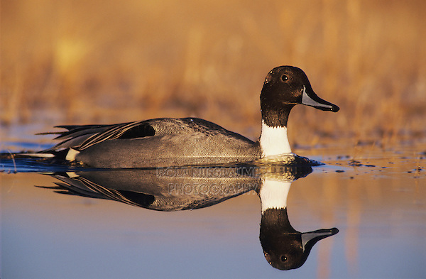 Northern Pintail, Anas acuta, male, Bosque del Apache National Wildlife Refuge , New Mexico, USA