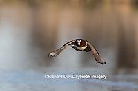 00715-08919 Wood Duck (Aix sponsa) male in flight,  Marion County, IL