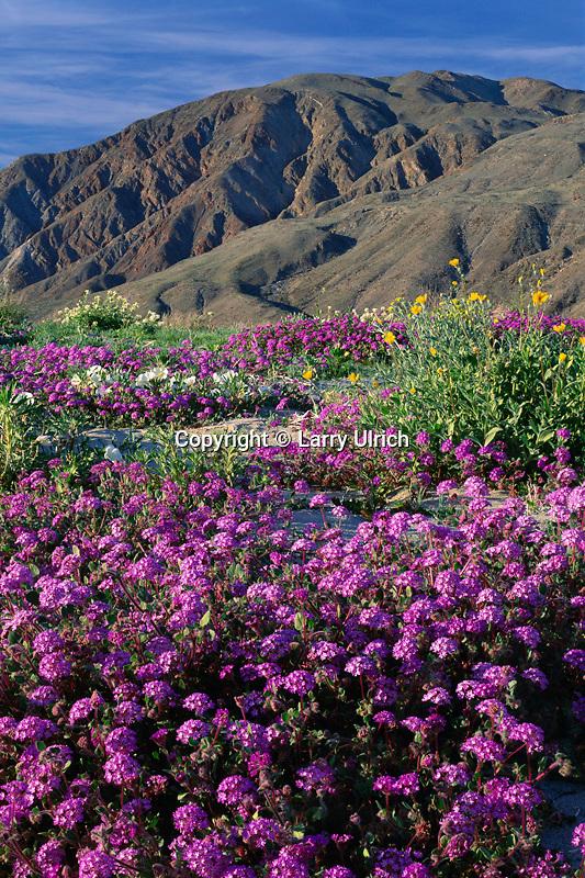 Desert sand verbena, desert sunflower and<br />   dune evening primrose and Coyote Mountain in<br /> Anza-Borrego Desert State Park<br /> Sonoran Desert,   California