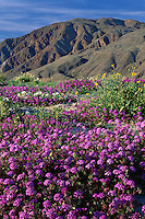 Desert sand verbena, desert sunflower and<br />
