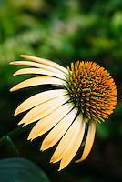 Echinacea purpurea Harvest Moon, gorgeous yellow coneflower