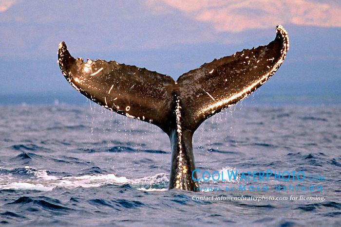 humpback whale lobtailing at sunset,  .Megaptera novaeangliae, .Hawaii (Pacific).