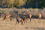Elk in the Missouri Breaks