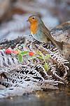 A Robin in heavy frost. Wales,UK