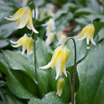 American trout lily (Erythronium americanum), Garden in the Woods, Framingham, MA, USA