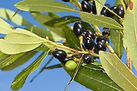 Lorbeerbaum, Lorbeer-Baum, Lorbeer, Lorbeerblatt, Lorbeerblätter, Frucht, Früchte, Laurus nobilis, Bay Tree, Sweet Bay