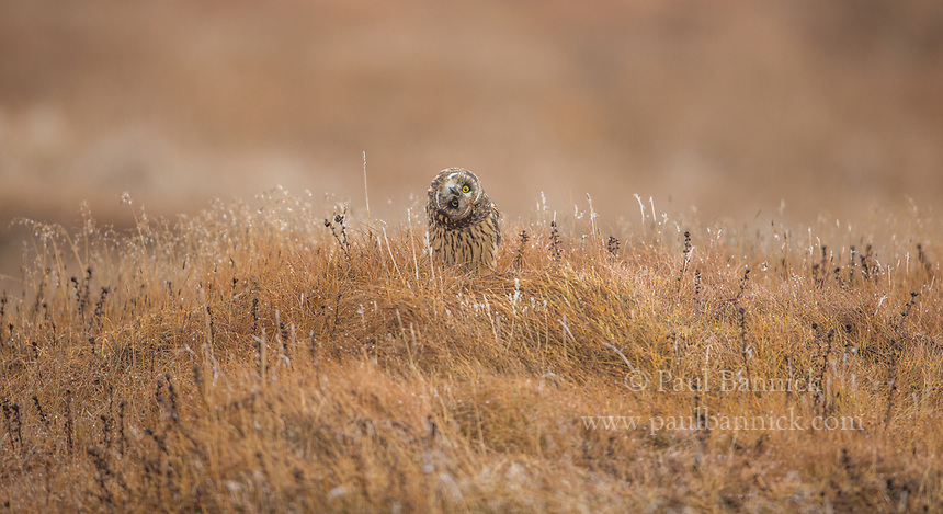 Since owls cannot move their eyes in their sockets, they often rotate their heads to better judge distance and evaluate what they are seeing.(Alaska)