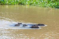 Adult capybaras, Hydrochoerus hydrochaeris, with young, Porto Jofre, Mato Grosso, Pantanal, Brazil.