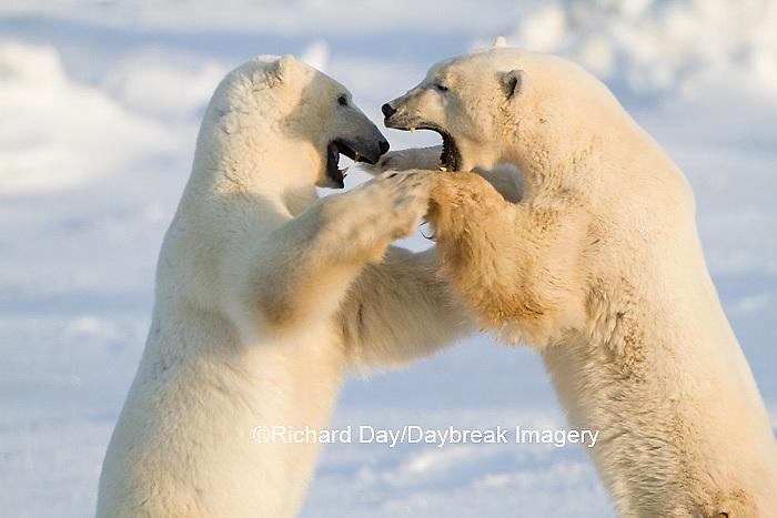 01874-13303 Polar Bears (Ursus maritimus) sparring Churchill Wildlife Management Area Churchill MB