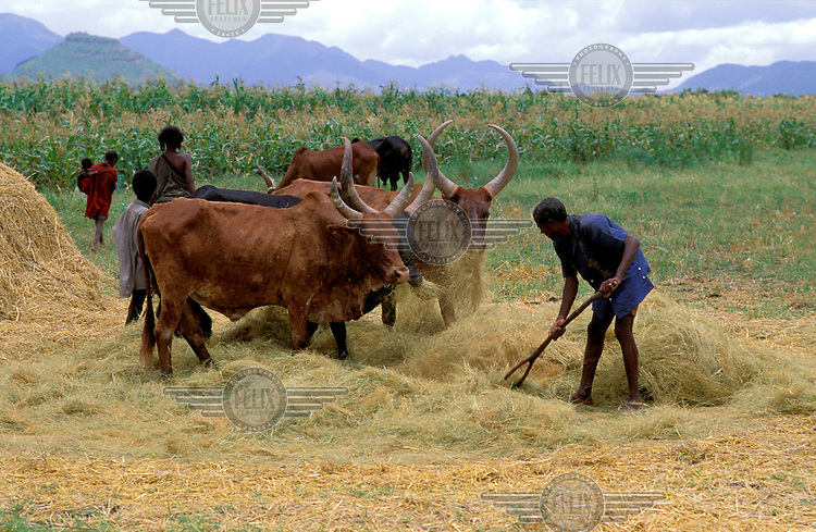 Cattle threshing.
