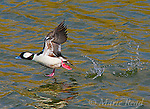 Bufflehead (Bucephala albeola), male taking flight by running across the water, Bolsa Chica Ecological Reserve, California, USA