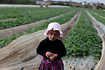 A Palestinian girl helps farmers harvest strawberries from a field in Beit Lahia, in the northern Gaza Strip, on December 10, 2013. Some 250 acres of strawberry crop are cultivated in these fields yielding some 2500 tons of fruit, some of which will be exported to European countries, helping the stagnant economy of the enclave. Photo by Ashraf Amra