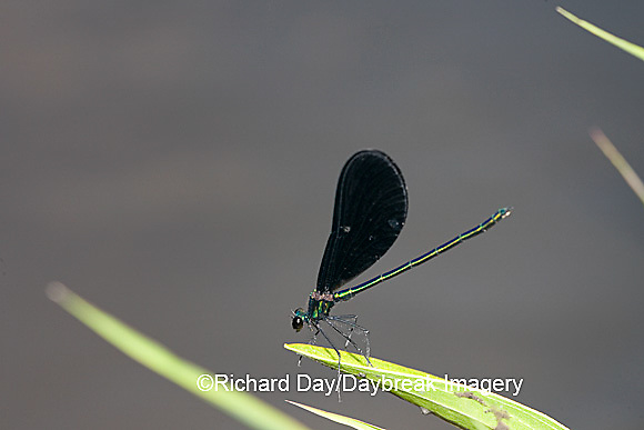 06014-001.05 Ebony Jewelwing (Calopteryx maculata) male, Lawrence Co. IL