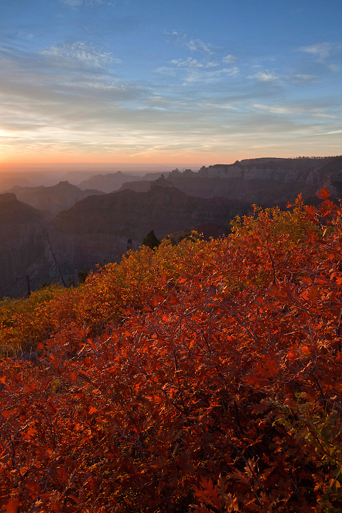 Gambel oak line the edge of the North Rim of the Grand Canyon National Park, Arizona, USA