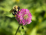 A Bumble Bee collects pollen from a red clover bud in a field on a sunny day in Jamaica,Vermont U.S.A.