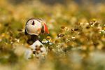 Atlantic Puffin (Fratercula arctica) in breeding plumage, Skomer Island National Nature Reserve, Skomer Island, Pembrokeshire, Wales, United Kingdom