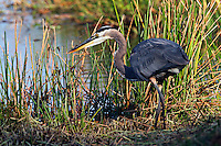 Great Blue Heron stalking <br /> Ardea herodias<br /> Everglades National Park, Florida
