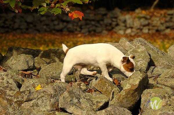 Jack Russell Terrier puppy in fall on rocks.