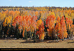 Aspens in Fall Color, Highway 14 near Cedar Breaks, Dixie National Forest, Utah