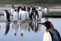A king penguin moves among his flock at a rookery on the Falkland Islands.