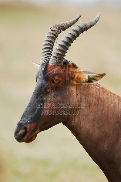 Topi (Damaliscus lunatus), male, Masai Mara, Kenya, Africa