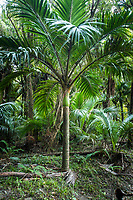Native Nikau Palm tree in Kohaihai, Kahurangi National Park, Buller Region, West Coast, New Zealand, NZ