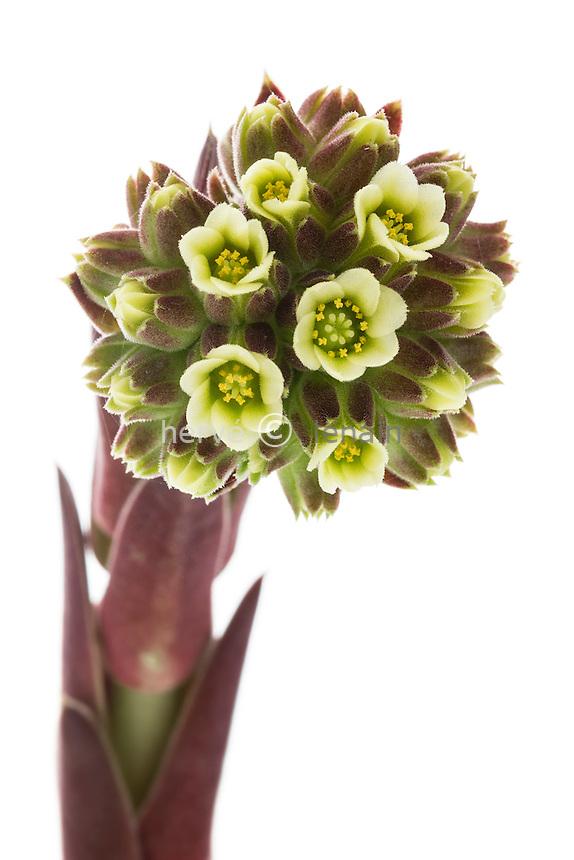 Jovibarba heuffelii = Sempervivum heuffelii