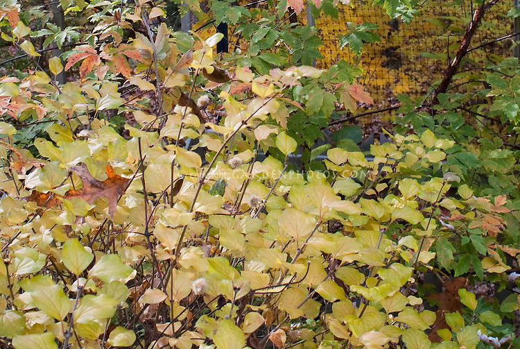 Littleleaf Syringa lilac shrub in autumn fall foliage color, in front of Acer griseum