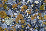 Close-up of lichen, Prescott National Forest, Arizona