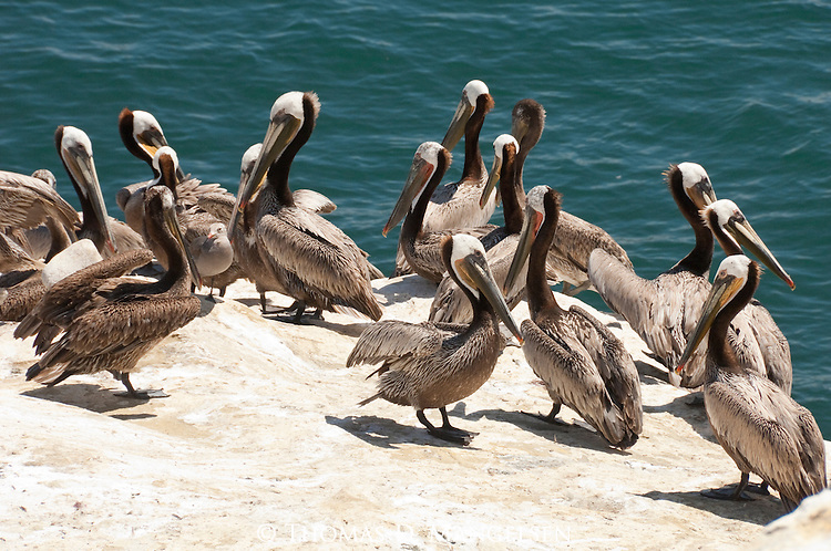 A flock of brown pelicans on the coast of La Jolla, California