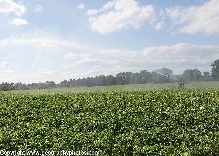 Irrigation sprayer watering field of potatoes, Shottisham, Suffolk, England, UK