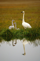 Tundra Swan (Cygnus columbianus) and chicks. Colville River Delta, Alaska. August.