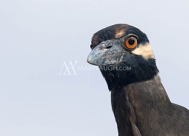 The nocturnal yellow-crowned night heron is one of many shorebirds found in the Galapagos.