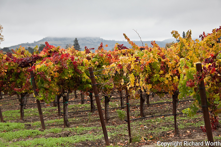 With fog-shrouded hills in the distance, grape vines in California's Napa Valley display the colors of autumn.