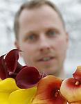 Foto: VidiPhoto<br /> <br /> HUISSEN &ndash; Was de calla vroeger alleen te vinden in trouw- en rouwboeketten, inmiddels wordt de snijbloem een stuk ruimer ontvangen door de consument. Zandvoort Flowers in het Gelderse Huissen vaart er wel bij. Het bedrijf wordt gerund door de drie broers Gerichhausen, Rick, Rob en Sjors en is gespecialiseerd in drie hoofdteelten: Freesia, Calla (Sjors) en Amaryllis. Inmiddels zijn drie aparte locaties samengevoegd tot &eacute;&eacute;n op 5,5 ha. kassen. Calle wordt in volle bloei geoogst en verhandeld via vier bloemenveilingen. Zo&rsquo;n 5,5 miljoen stelen vinden jaarlijks de weg naar de consument wereldwijd. Het zijn de harde, sprankelende kleuren, de statige open kelk en zijn lange houdbaarheid op de vaas (twee weken) waarmee de calla de harten van de consument weet te veroveren. Zandvoort Flowers teelt als een van de grotere aanbieders in ons land, jaarrond zestien soorten en acht kleuren. Het bewaren en bewaken van de kwaliteit blijft een klus en is mede afhankelijk van de weersomstandigheden waarmee de -door een Noord-Hollandse kweker geleverde- bol buiten te maken krijgt.