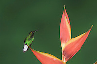 Coppery-headed Emerald, Elvira cupreiceps, male perched on Heliconia flower, Central Valley, Costa Rica, Central America