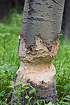 An aspen tree that has been chewed by a beaver in the Beaverhead National Forest